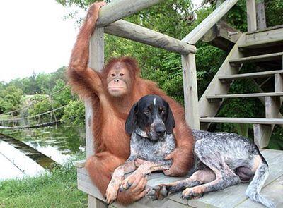 Orangutan_dog_pals_03