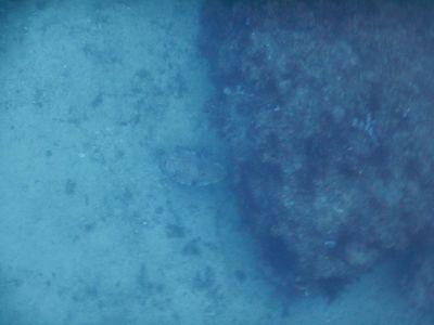 Cuttlefish hiding