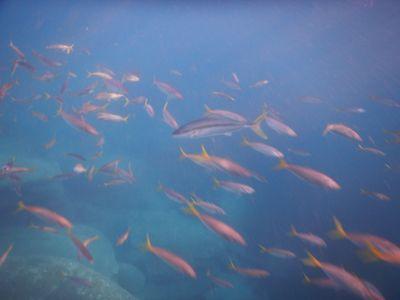 King Kingfish