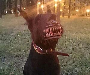 Werewolf-dog-muzzle-300x250