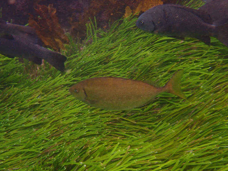 Golden fish in seagrass