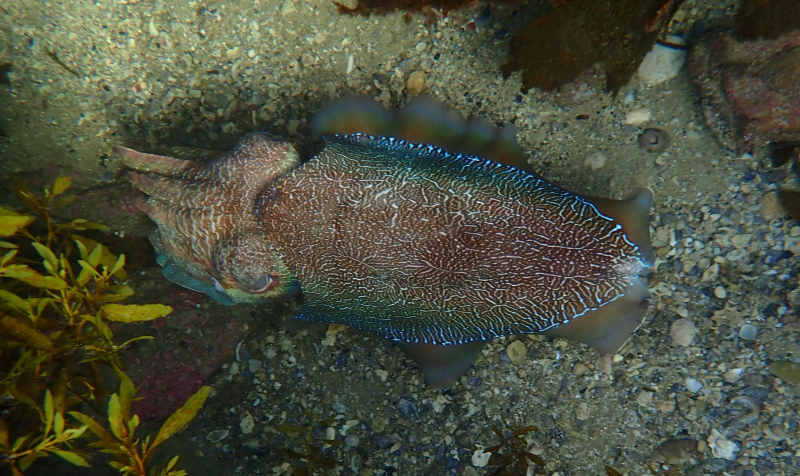 Cuttlefish in cave