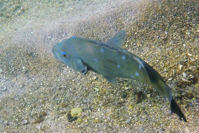 Groper missing fin