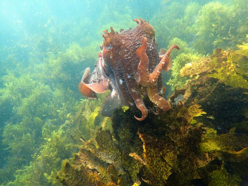 Cuttlefish close up