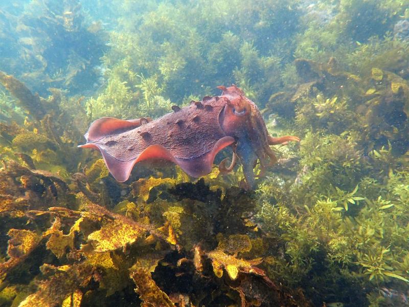 Cuttlefish in weeds