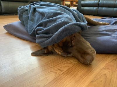 Merlin sleeping in
